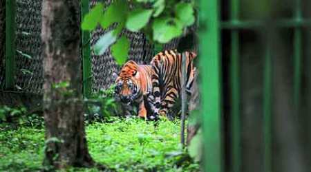 Pench tigress state's first hand-reared big cat to be released in thewild