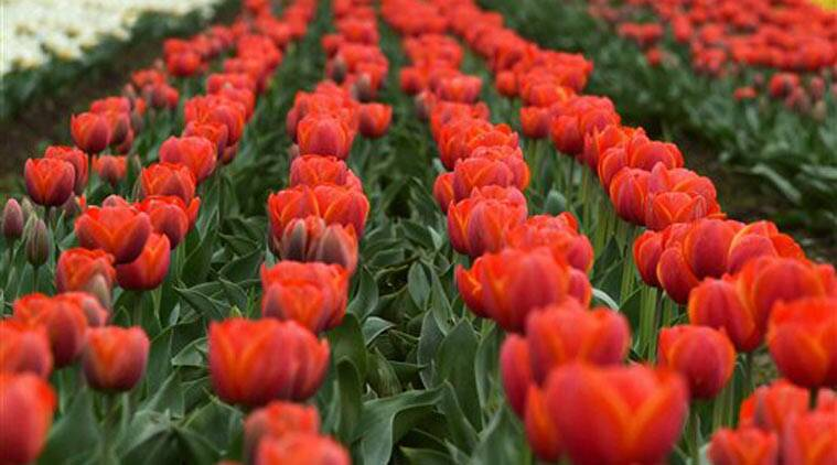 tulips, tulip garden