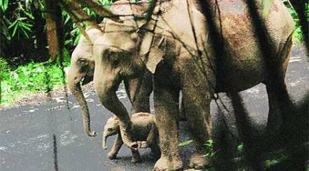 wild elephant, newborn elephant calf, wild elephants, wild elephant new born, forest staff guard elephant, Vazhachal forest elephants, elephants in India, elephant born, indian express news, indian express, express news, india news, elephant news
