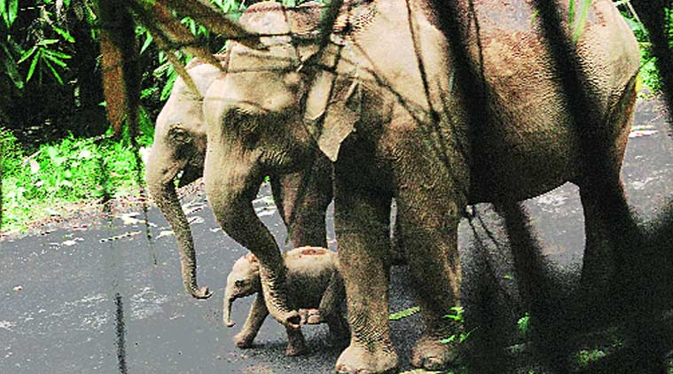 The newborn calf and its  parents in the Vazhachal forests in Kerala on Wednesday. (Express Photo by: Ajay Krishnan)