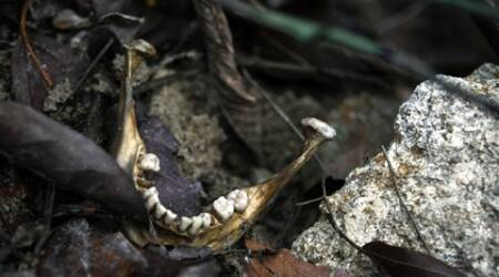 A human jaw is photographed near an unmarked grave in Wang Burma at the Malaysia-Thailand border outside Wang Kelian, Malaysia on Tuesday, May 26, 2015. Malaysian forensic teams exhumed a body from a shallow grave at an abandoned camp on Tuesday that was used by human traffickers, the first of what police predicted would be more grim findings as they combed through a cluster of jungle camps on the border with Thailand. (AP Photo/Joshua Paul)