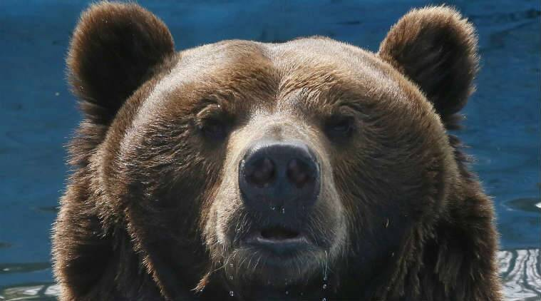 Poland, Brown bear, Poland brown bear, Brown bear, Bear crosses countries, Social stories, Social news, Bear, Animals, Animals lovers