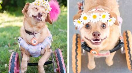 This wheelchair-bound dog's inspiring rescue story will melt your heart