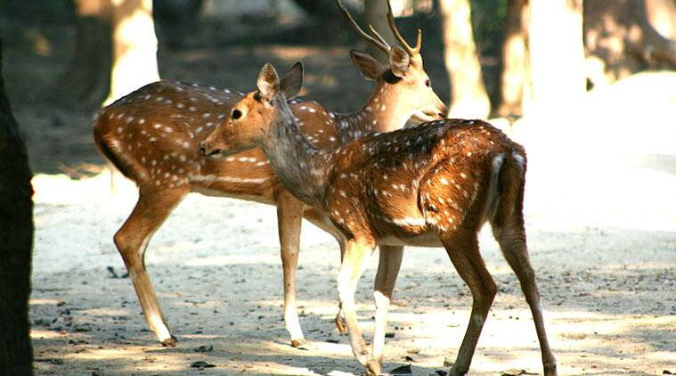 Dangs forest region, deer breeding, Bardipada village, breeding centre for barking deer, breeding centre for spotted deer, Gujarat news, Environment news, india news