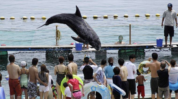 """FILE - In this photo Aug. 15, 2010 file photo, Shiro, a Risso's dolphin, jumps in front of holidaymakers in a small ocean cove in Taiji, Wakayama Prefecture (state), western Japan. Japan's aquariums promised Wednesday, May 20, 2015 to stop acquiring dolphins captured in a bloody hunt in Taiji that was depicted in the Oscar-winning documentary """"The Cove"""" and has caused global outrage. (AP Photo/Koji Sasahara, File)"""