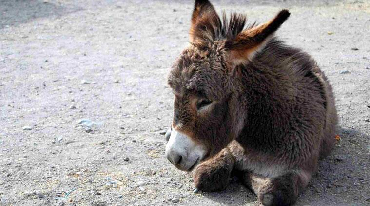 pakistan plans to export donkeys to china the indian express