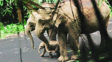 elephant calf, elephant, road, wild elephant calf, Kerala's Vazhachal forest, india news, national news, nation news, Indian Express