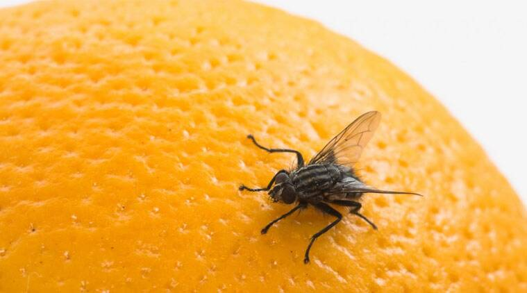 The scientists claim to have discovered a simpler version of the human bone marrow in the adult fruit fly.