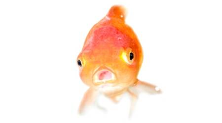 uk news, world news, health news, science news, goldfish tumor, uk goldfish, bizarre news, goldfish breeding, goldfish news