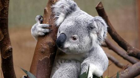 Australia's iconic koala threatened by deforestation and bushfires
