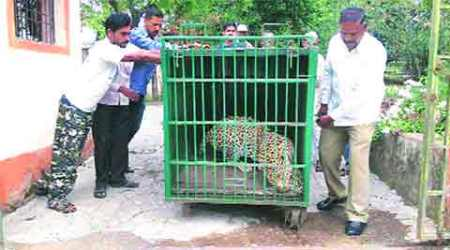 Second leopard trapped in a week in Junnar, villagers say there are more