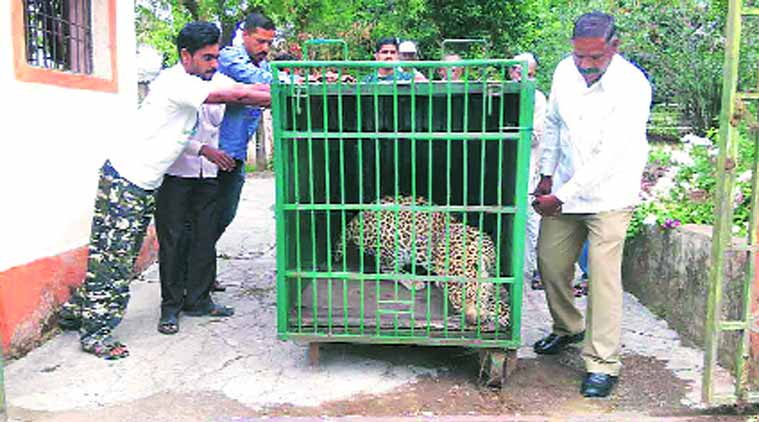 The nine-year-old leopard was taken to Manikdoh Leopard Rescue and Rehabilitation Centre. No wounds were found on its body, officials said.