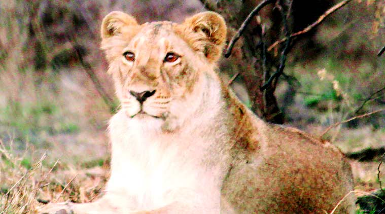 lion, lion population, habitat of lion, lion census 2015, Forest Department, Asiatic lions , Gir Forest lion, ahmedabad news, city news, local news, Gujarat news, Indian Express