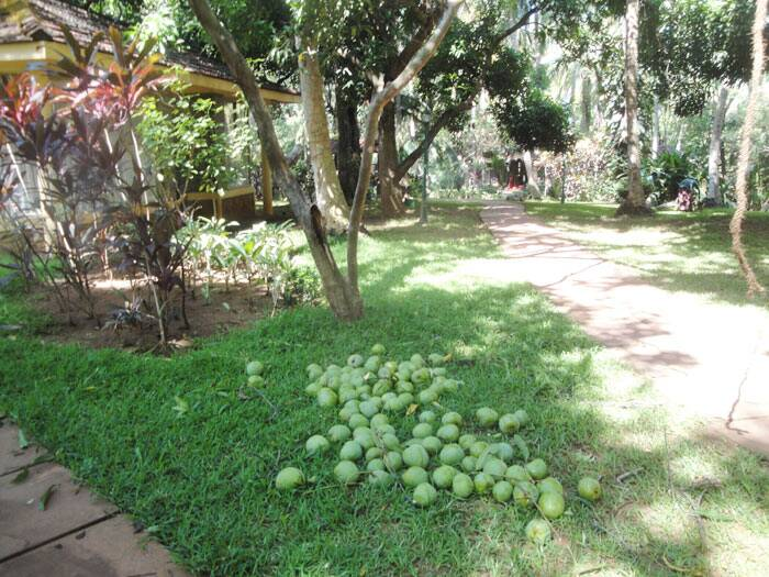 I also witnessed extra size mangoes on the trees in the resort and got a bag full of them as souvenirs. (Source: Sharmila Chand)