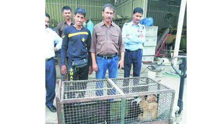 Monkey menace in city: Rampaging monkeys keep residents, forest officials on theirtoes