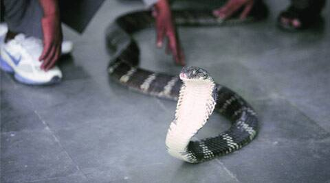 king cobra, snake in delhi zoo, delhi zoo, delhi zoological park, new snake in delhi zoo, new snake, india news, delhi news