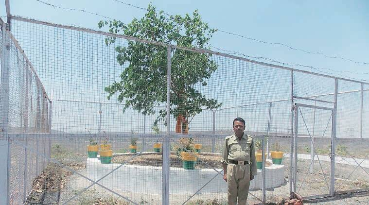The sacred tree on the hillock (top); Singh doesn't really know its significance. (Express Photo by Milind Ghatwai)