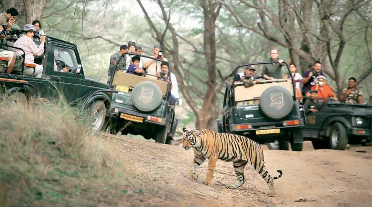 T24, ranthambore, ranthambore tiger, t24 moved, t24 relocated, t24 kills human, man killer tiger, ranthambore tiger kills man, ranthambore tigers, rajasthan news, india news