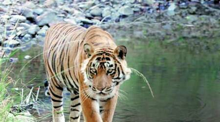 Big Picture: The fate debate of Ranthambore tiger Ustad aka T24