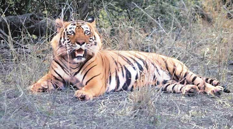 Experts oppose plan to shift Ustaad to a zoo, blame increased tiger density, tourism for the attack. (Source: Express photo by Shruti Dua)