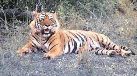 tiger, pench, pench tiger reserve, nh7, ngt, ntca, nhai, nh7 highway, india news