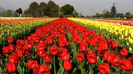 Watch video: Kashmir's scenic Tulip Garden draws surge of tourists