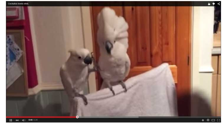 Cockatoo video, viral cockatoo video, Elvis, King of Rock n Roll, Elvis Presley, bird dancing to Elvis song, Dont be cruel,