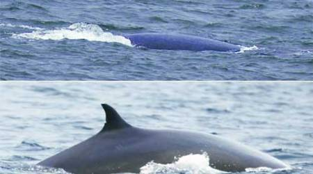 Blue whale returns to Maharashtra waters, last sighting was in 1914