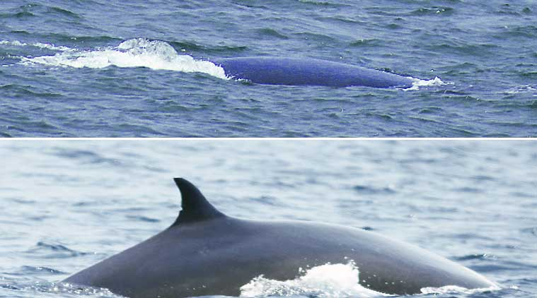 Blue whale, Blue whale Maharashtra, Sindhudurg coast, Blue whale Sindhudurg coast, Sindhudurg coast Maharasthra coast, dolphins Mumbai, United Nations Development Programme, UNDP, Blue whale in India, Indian express, express news