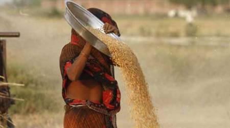 India crop damage, Rajasthan crop damage, Madhya Pradesh crop damaged, crop damage, unseasonal rain, India unseasonal rain, Madhya Pradesh grain market, farmers issue, farmer, crops ruined, rains destroy crops, india news, Unseasonal rainfall, Agriculture Ministry, Indian express
