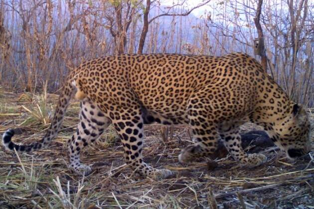 Mumbai leopards, leopards in Mumbai, leopard survey Mumbai, Mumbai survey leopard, Sanjay Gandhi National Park, Leopards of Mumbai, Leopards of SGNP, Mumbai western Suburbs, Leopards roam Mumbai, Leopards roam Mumbai's western suburbs, Leopards Mumbai, Mumbai Leopard Survey