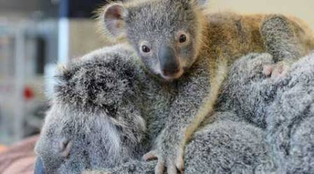 Unmatched love: Baby koala clinged on to his mother throughout her operation