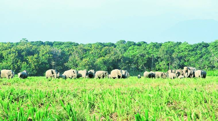 A herd of elephants in Udalguri district, Assam, that borders Bhutan