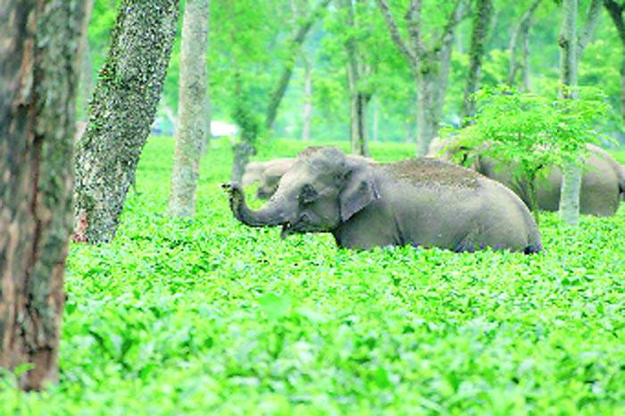 A baby elephant at the Nonaipara tea estate