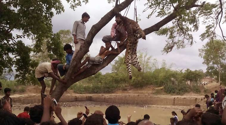 leopard killing, leopard lynching, leopard killed by villagers, West bengal leopard lynched, leopard killed and hanged, leopard killngs, leopard brutally killed, west bengal news, purulia leopard killngs, west  bengal news, purulia news, india news, latest news