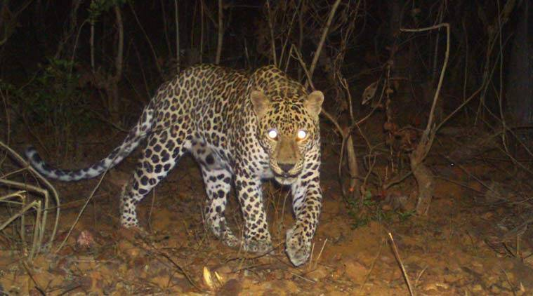 Maharashtra: Sanjay Gandhi National Park signs pact with wildlife body to radio collar leopards