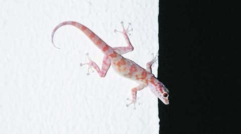 lizard-main480