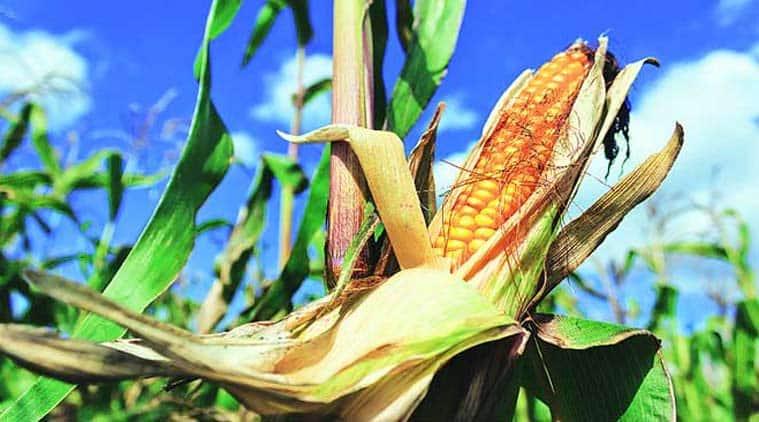Haryana government, haryana faremers, maize crop, Manohar Lal Khattar, farmer crisis, Indian express