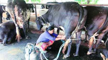 In India, to be veg is to drink a lot ofmilk