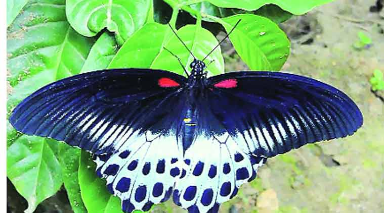 Maharashtra Blue Mormon Declared State Butterfly The