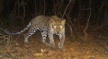 Mumbai leopards, leopards in Mumbai, leopard survey Mumbai, Mumbai survey leopard, Sanjay Gandhi National Park, Mumbai western Suburbs, Leopards roam Mumbai, Leopards roam Mumbai's western suburbs, Leopards Mumbai, Mumbai Leopard Survey