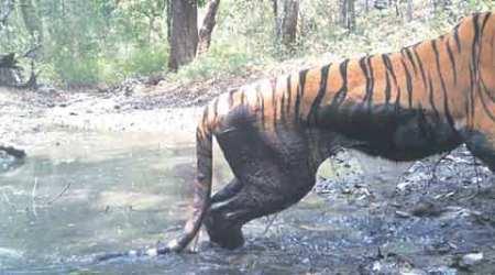 Experiment fails, Pench tigress back in enclosure