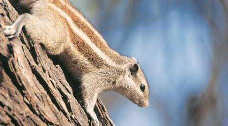 Big Little Rodent: Squirrels are highly adaptable, entertaining littlefellows
