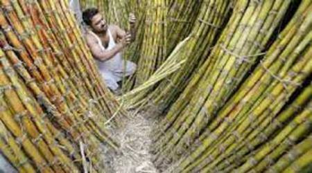 Maharashtra: Sugar, rice crops worst hit by continued dry spell in state