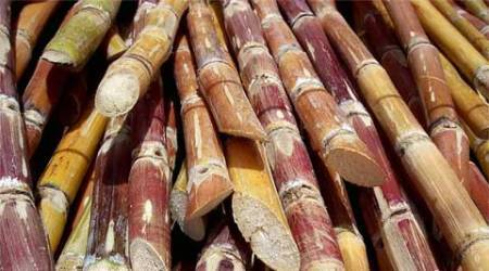 Sugarcane area down in state, Solapur worst hit