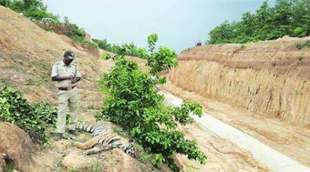 Another male tiger dead inChandrapur