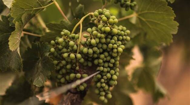 In this Wednesday, May 27, 2015 photo, grapes are grown at the Gianaclis winery, one of Egypt's main wineries, in the Nile Delta, north of Cairo, Egypt. (AP Photo/Mosa'ab Elshamy)