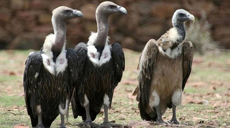 Vultures, White rumped vultures, White rumped vultures comeback, Kangra Vultures, Kangra vultures decline, Vulture decline, Himachal Pradesh vultures, India news, nation news