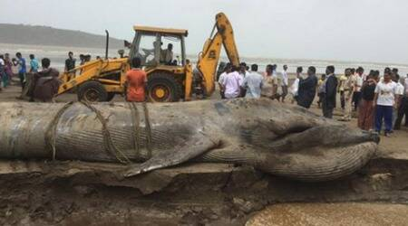 Blue whale dies after being stranded on land for ten longhours