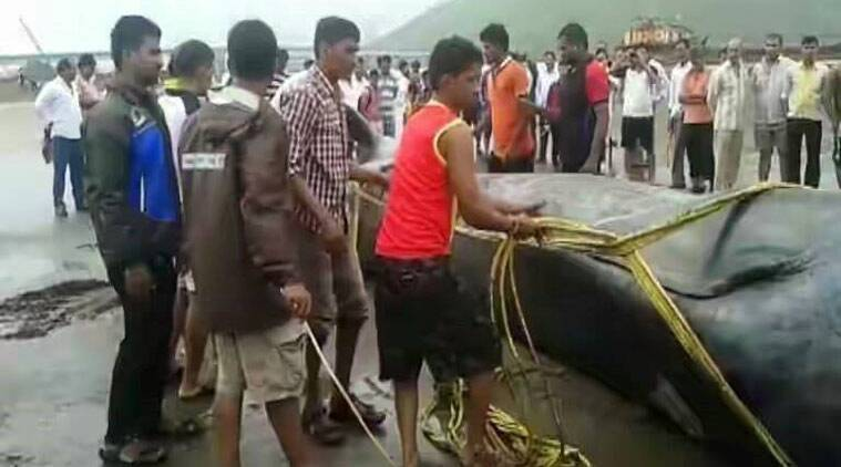 Whale mumbai, Whale alibaug, Blue whale Mumbai, blue whale death mumbai, mumbai beach blue whale death, Blue whale beach mumbai, Blue whale alibaug beach, Mumbai news, india news, latest news, environment news